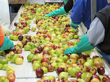 apple sorting process
